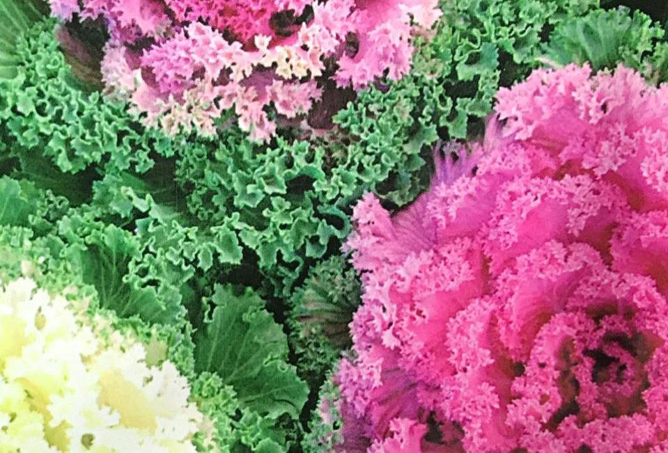 FA109 - Flower Seed   Kales