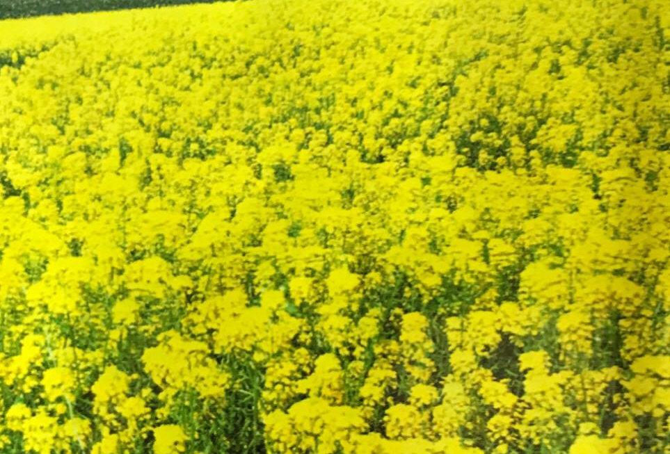 FA121 - Flower Seed   Rape