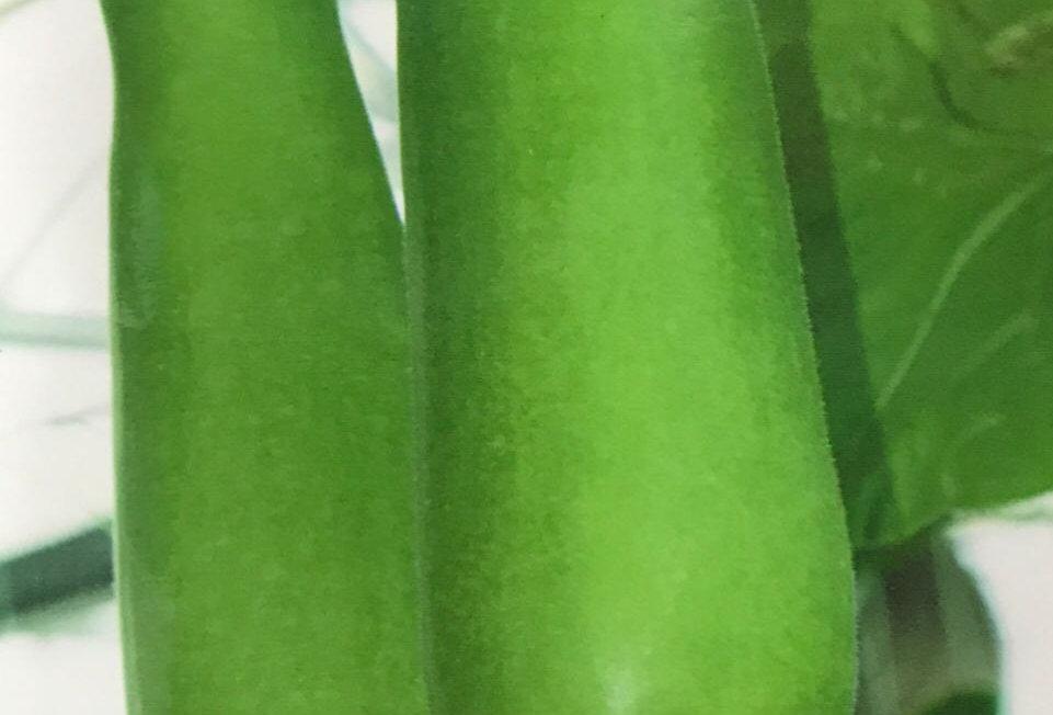 SB054 - Vegetable Seed  Bottle Gourd