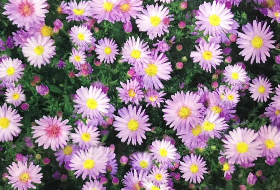 FA165 - Flower Seed   New York Aster