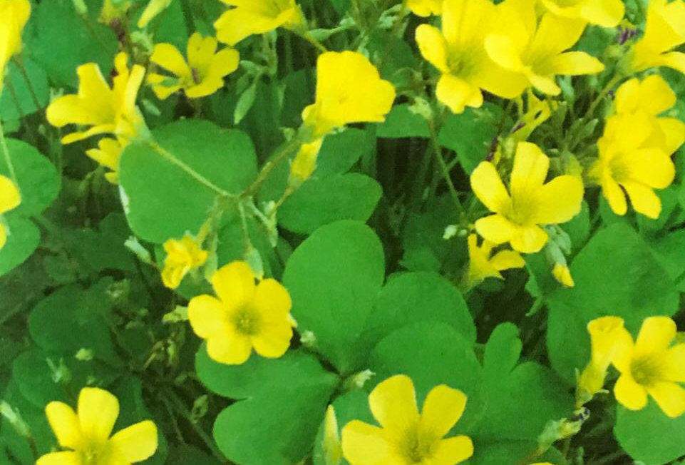 FA052 - Flower Seed  Yellow Woodsorrel
