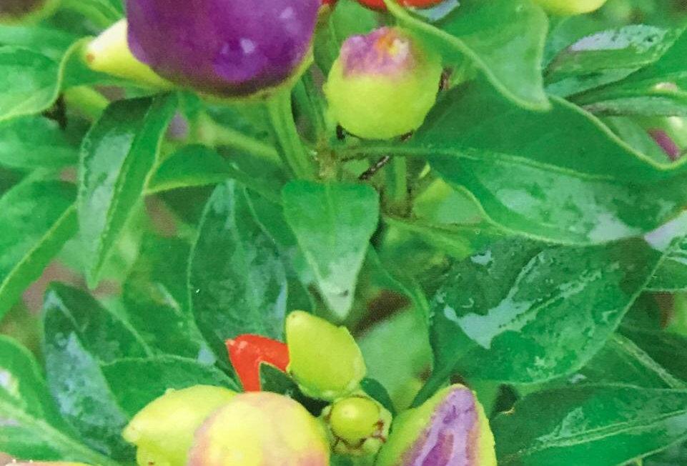 SB002 - Vegetable Seed       Ornamental pepper