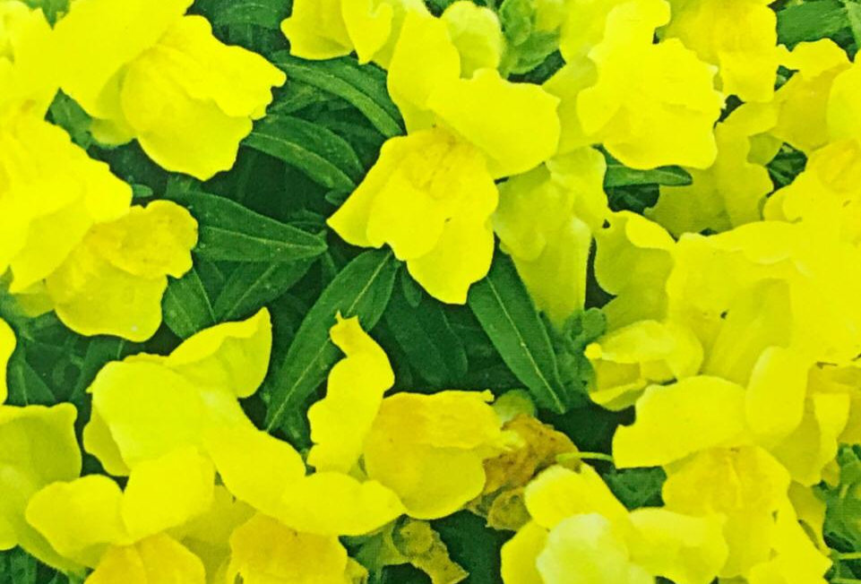 FA182 - Flower Seed   Common Snapdragon