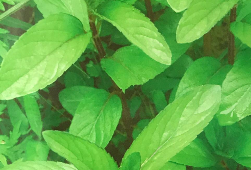 SD032 - Vegetable Seed   Peppermint