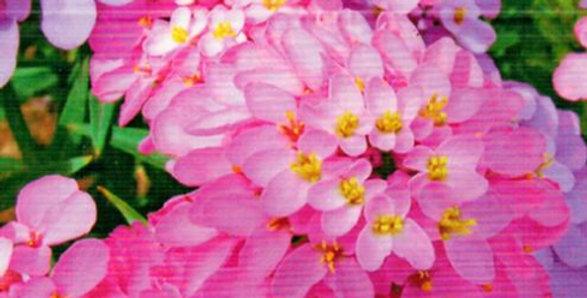 Flower seeds-SA138