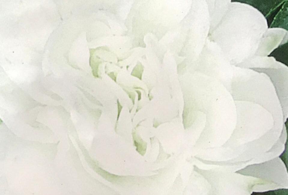FA243 - Flower Seed   Garden Balsam