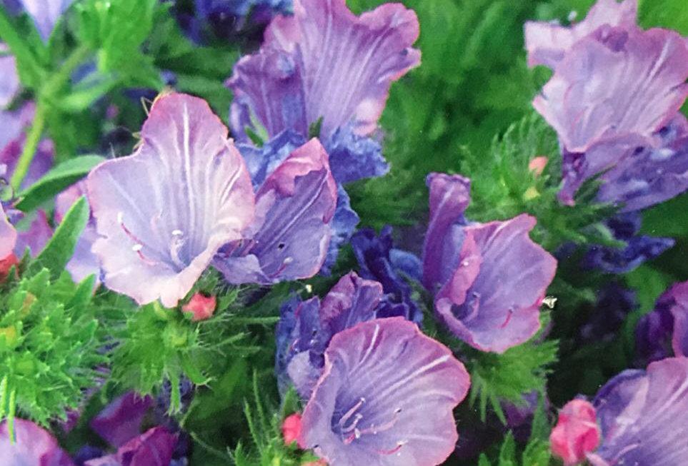 FA132 - Flower Seed   Bluethistle