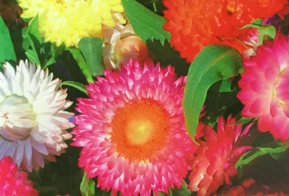 FA073 - Flower Seed   Strawflower
