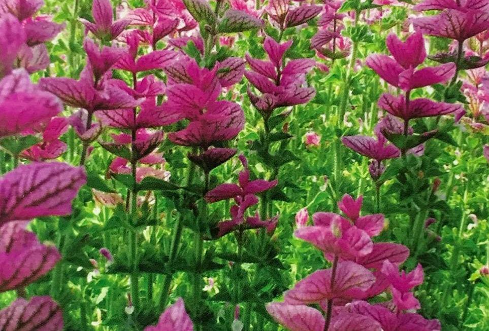 FA158 - Flower Seed   Sage