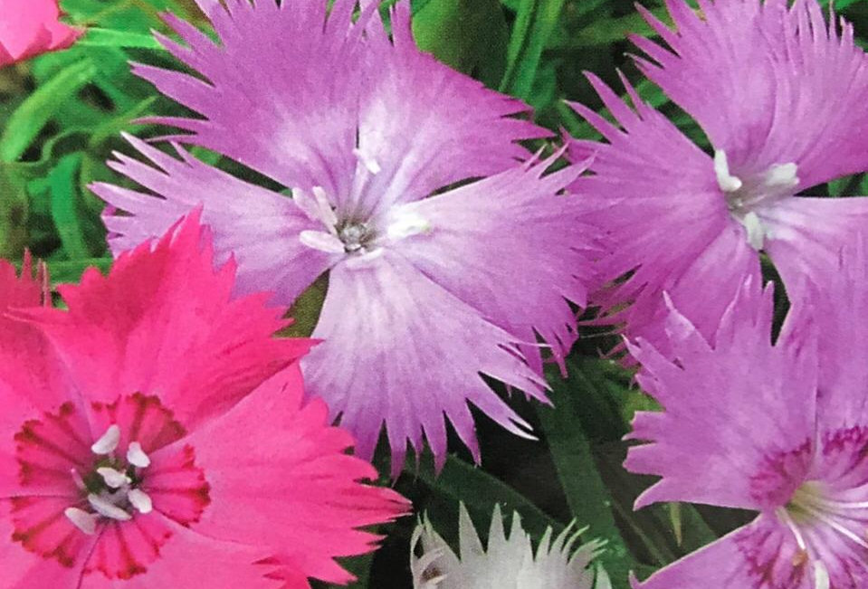 FA114 - Flower Seed   Lilac Pink