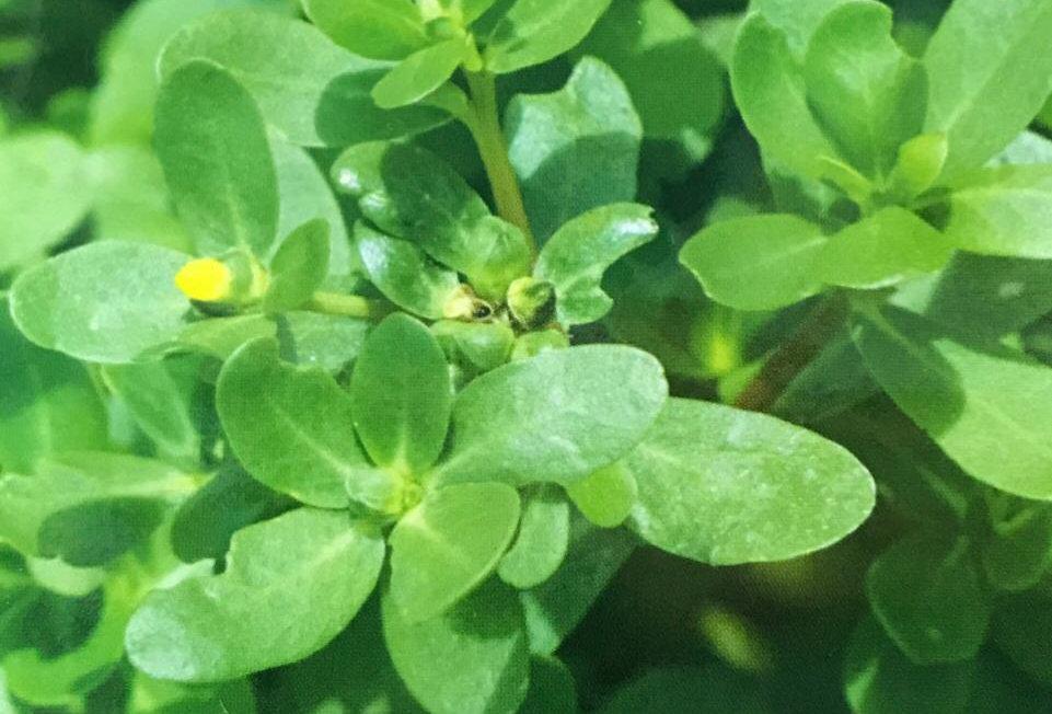 SE005 - Vegetable Seed      Purslane