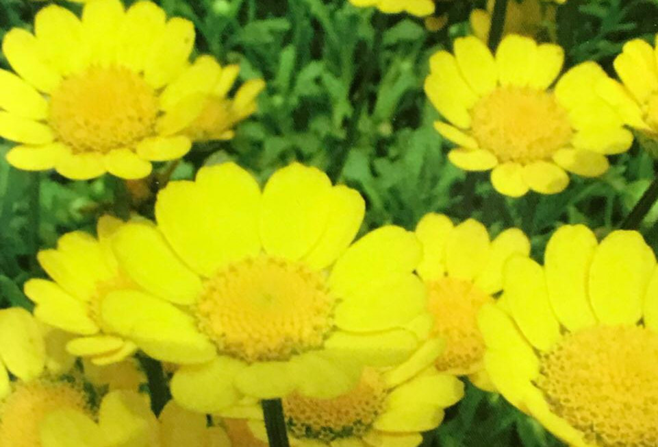 FA047 - Flower Seed  Yellow Daisy