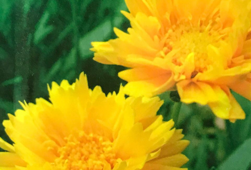FA046 - Flower Seed  Double Coreopsis