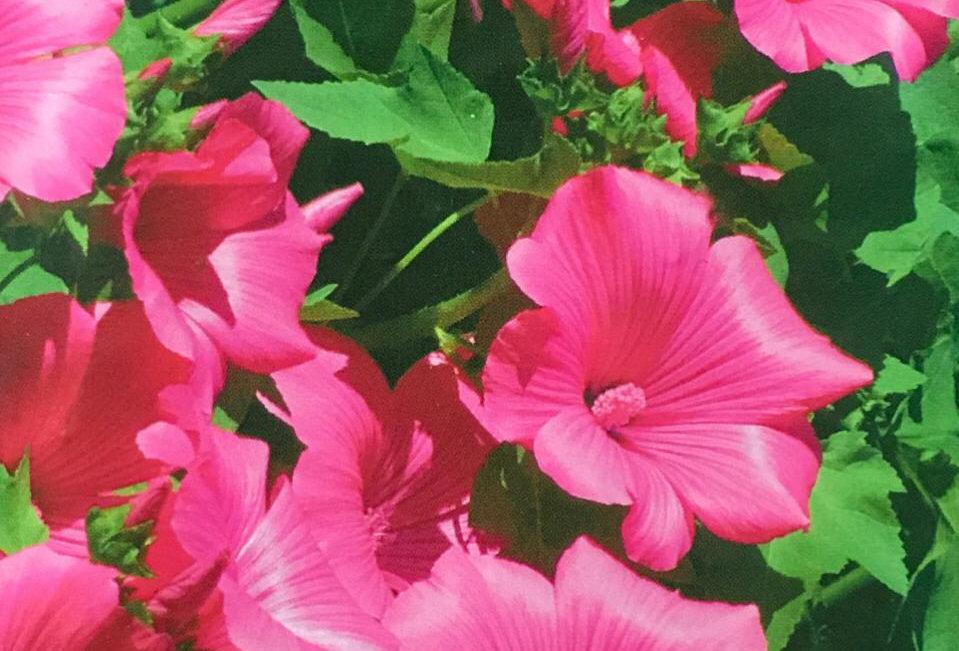 FA255 - Flower Seed   Velvet Treemallow