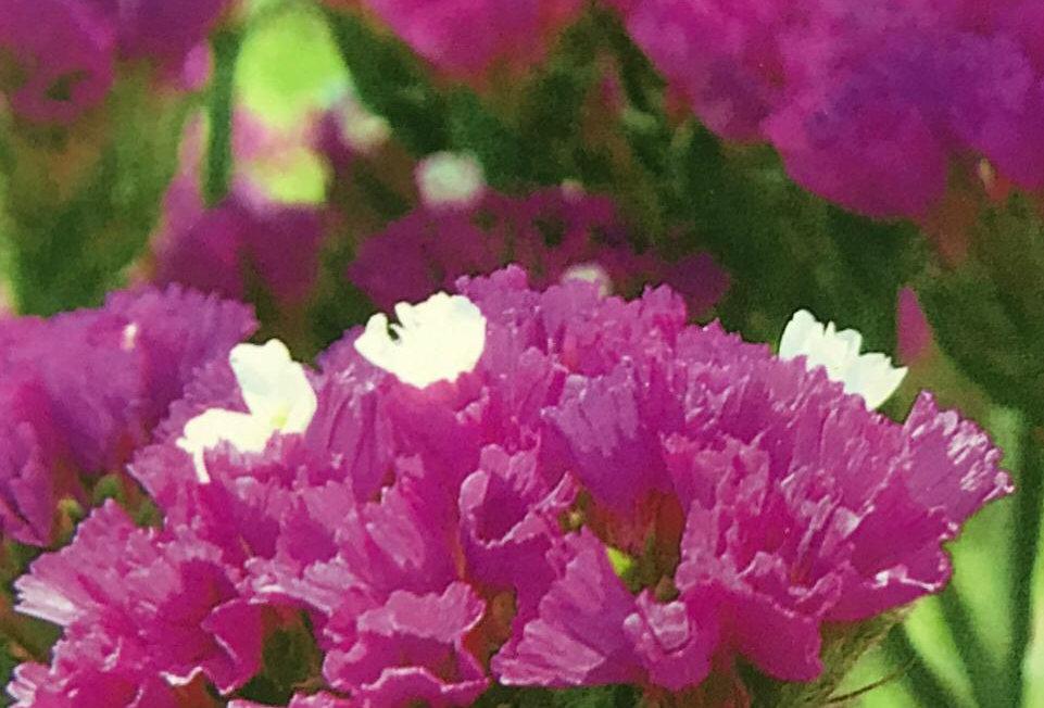 FA197 - Flower Seed   Sea Lavender