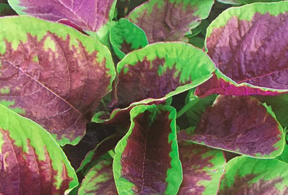 SC081- Vegetable Seed  Edible Amaranth