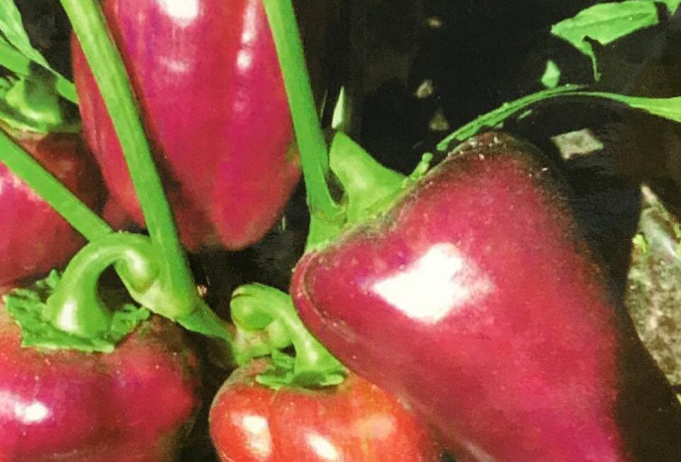 SC152- Vegetable Seed    Purple Pepper
