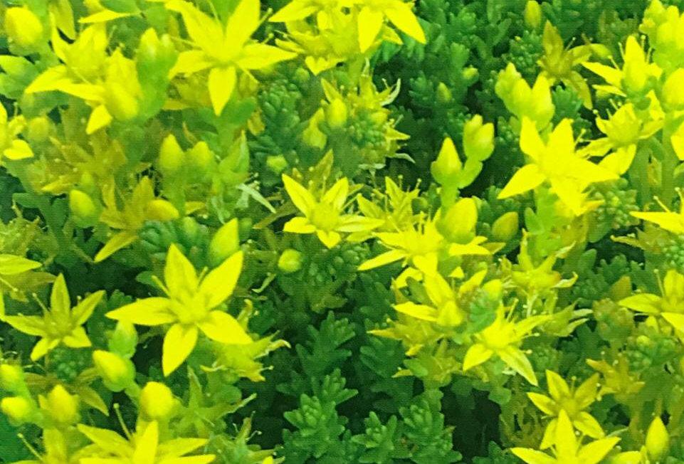 FA201 - Flower Seed   Emarginate Stonecrop