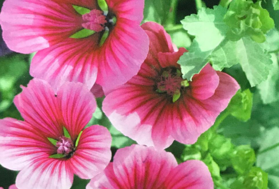 FA133 - Flower Seed   Malope