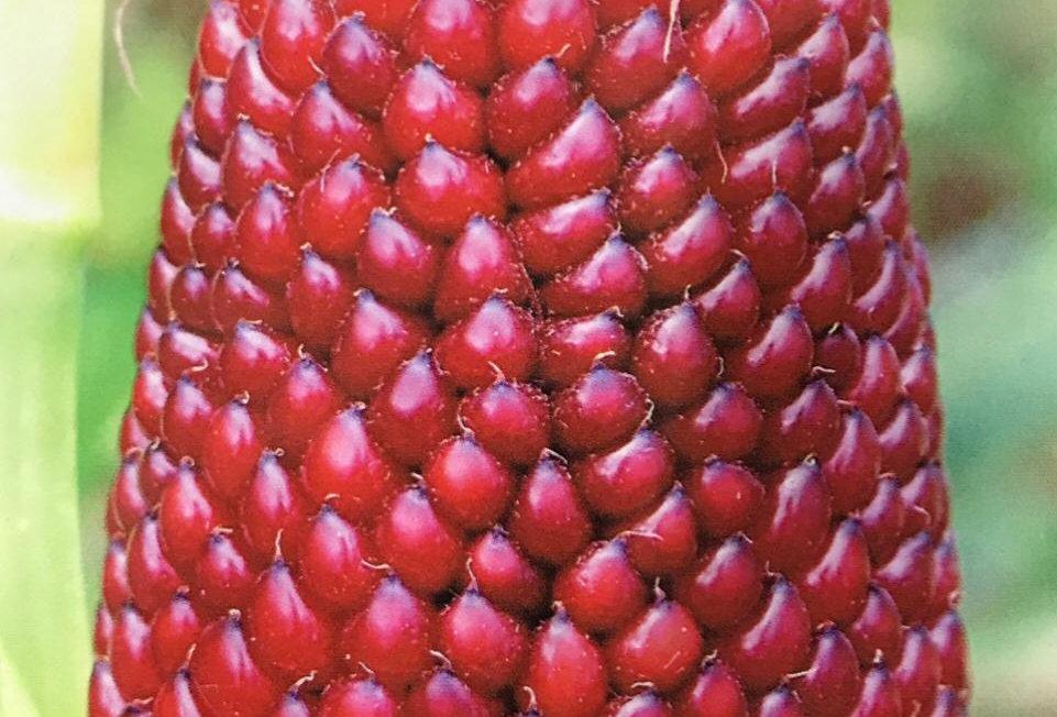 SB011 - Vegetable Seed    Fruit corn