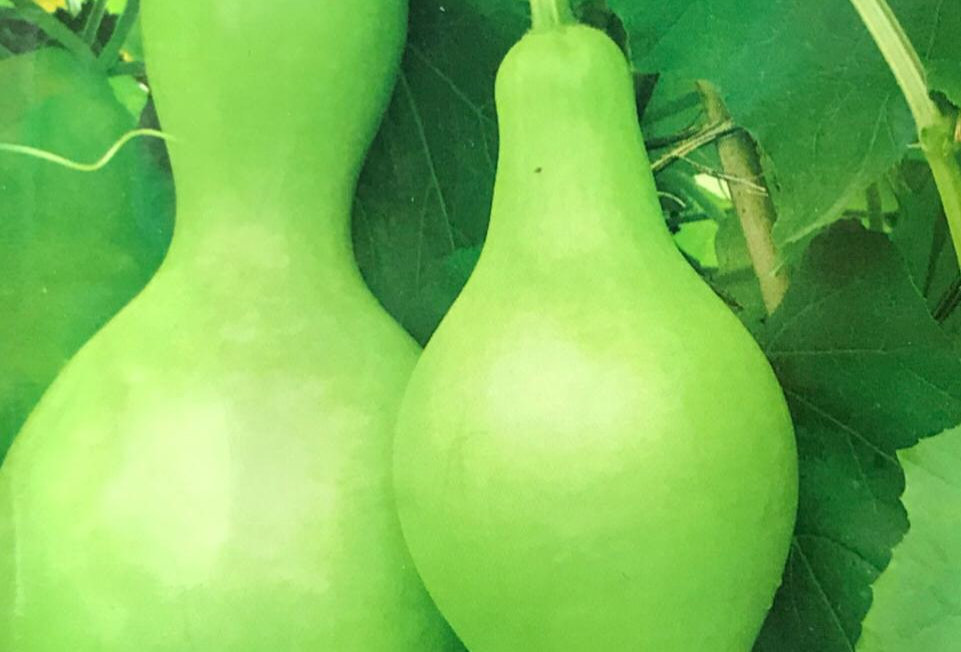 SB007 - Vegetable Seed     Spoon Bottle Gourd
