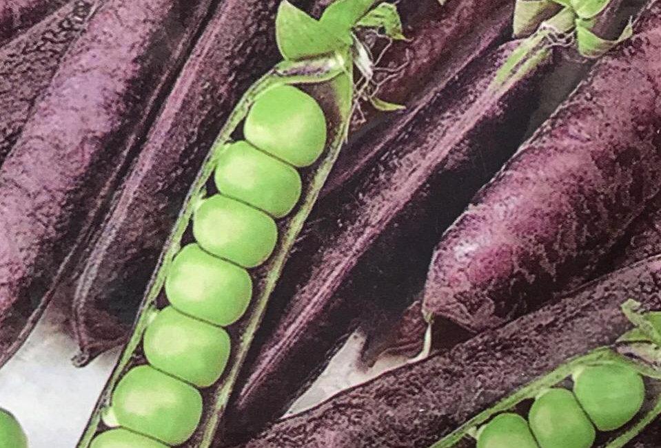 SC158- Vegetable Seed  Purple Pea
