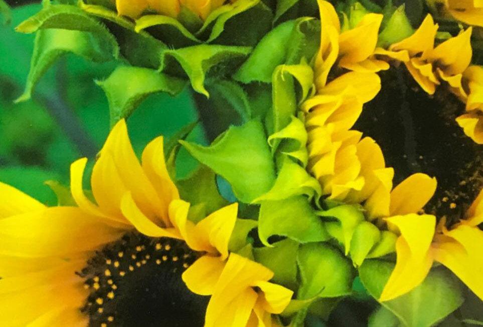 FA279 - Flower Seed   Sunflower
