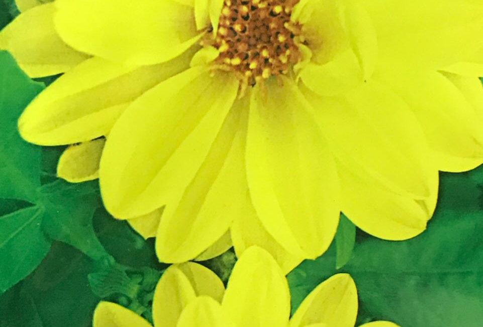 FA202 - Flower Seed   Dahlia