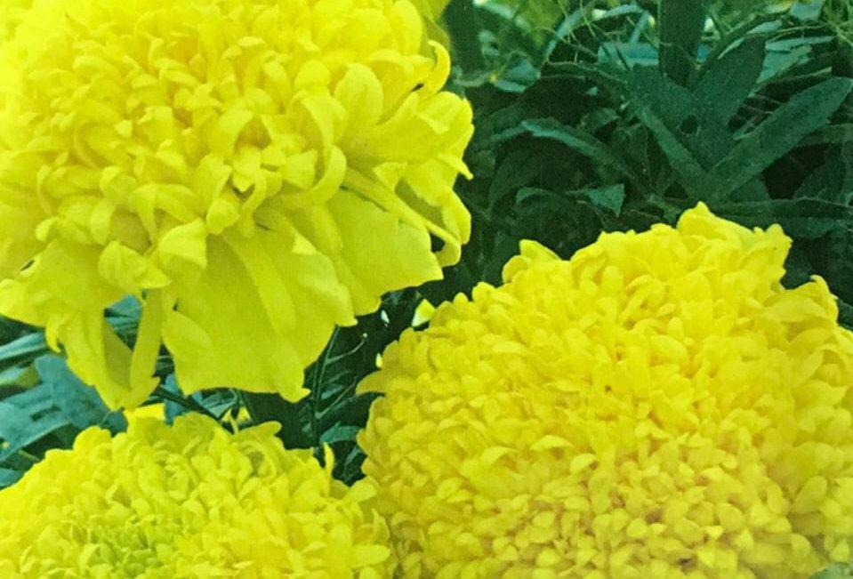 FA097 - Flower Seed   Aztec Marigold