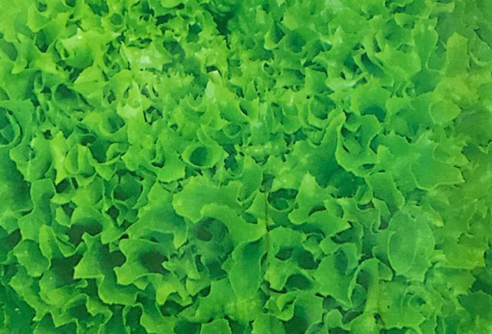 SC113- Vegetable Seed   The United States of America High Speed Lettuce