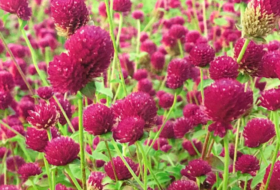 FA199 - Flower Seed   Gomphrena