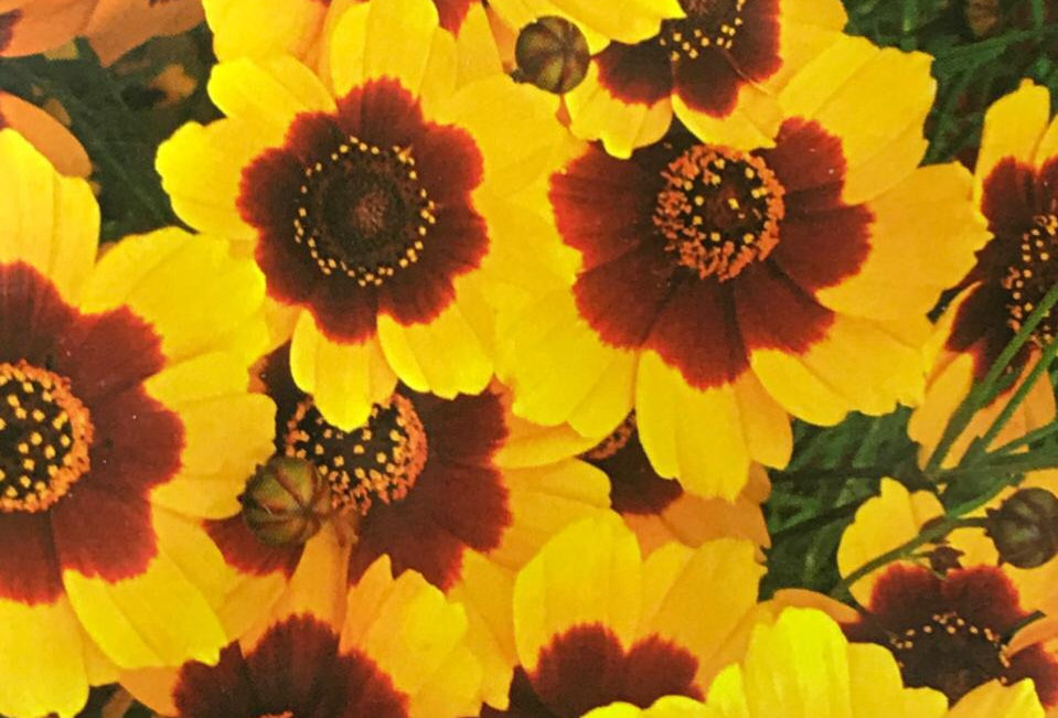 FA096 - Flower Seed   Coreopsis