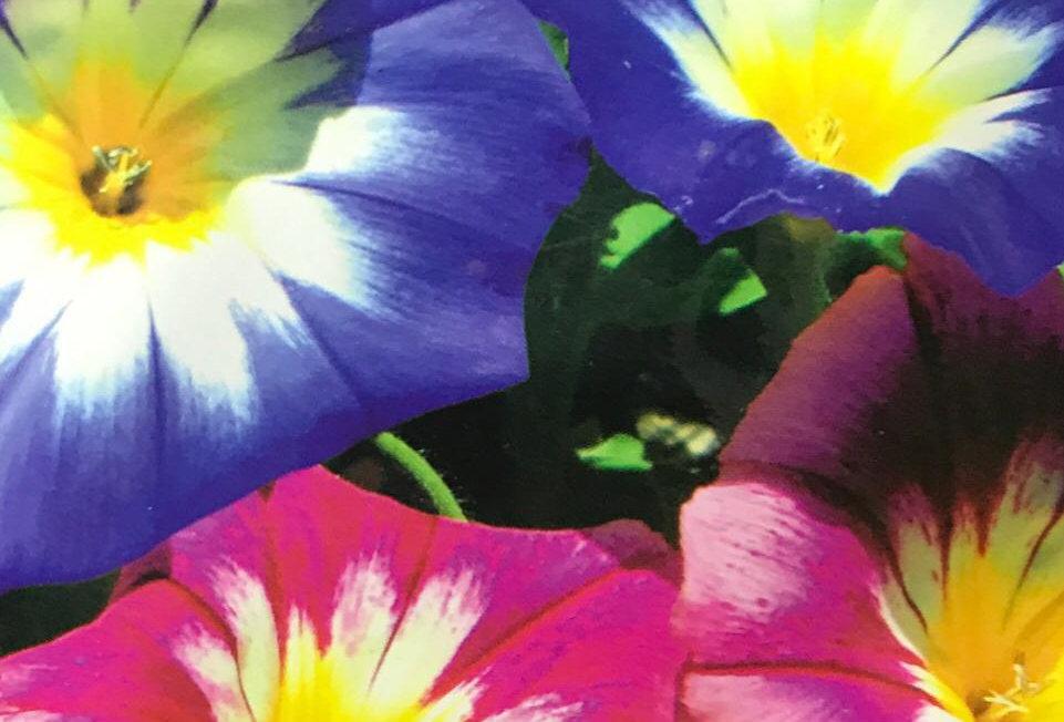 FA210 - Flower Seed   Morningglory Family