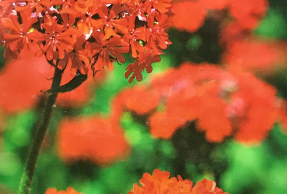 FA223 - Flower Seed   Brilliant Lychnis