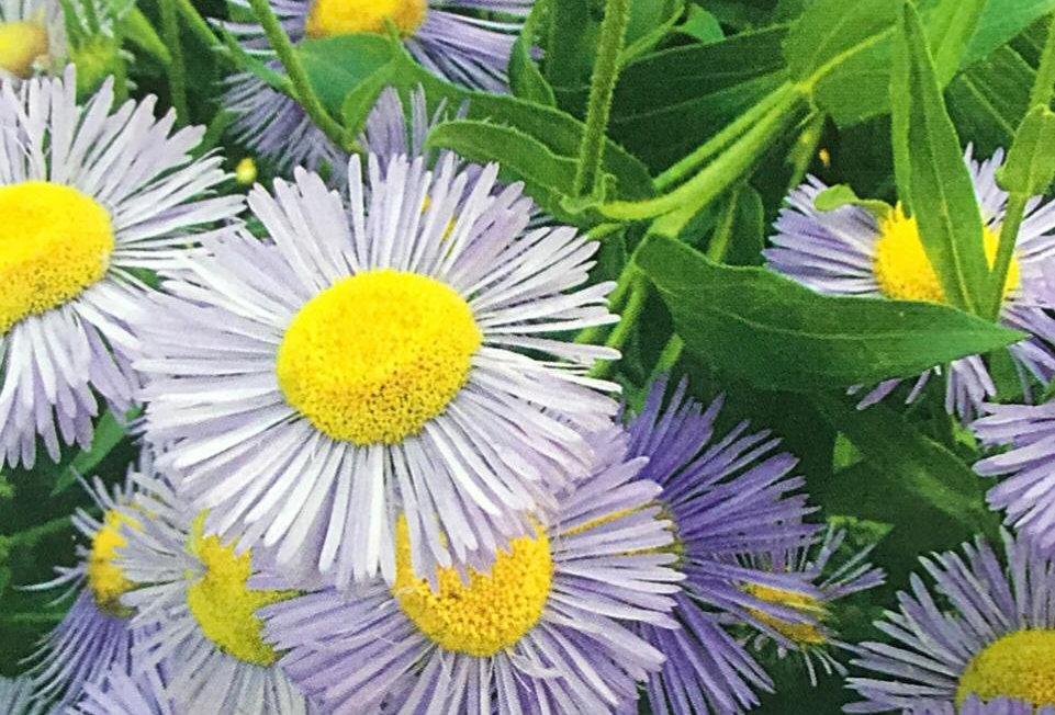 FA219 - Flower Seed   Oregon Fleabane