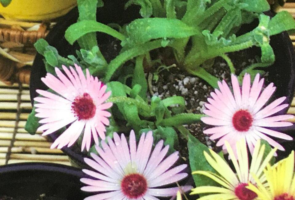 FG006 - Flower Seed  Semi-Trailing Heartlenf Figmarigold