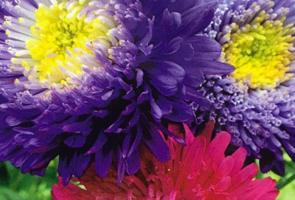 FA012 - Flower Seed  China Aster