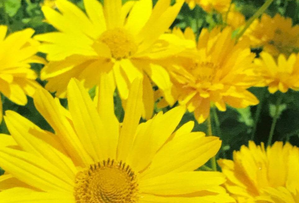 FA131 - Flower Seed   Sneezeweed
