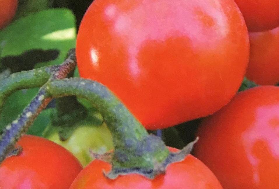SB099- Vegetable Seed  Ethiopia Eggplant