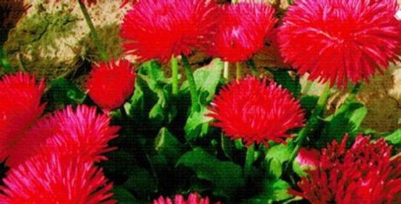 Flower seeds-SA118