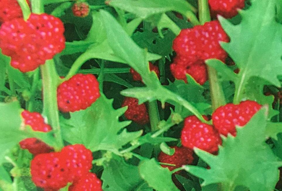 SB082- Vegetable Seed  Lucky Fruit