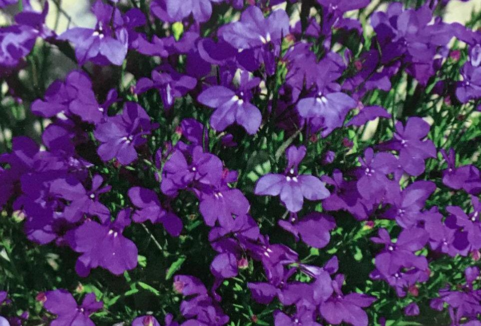 FA161 - Flower Seed   Lobelia