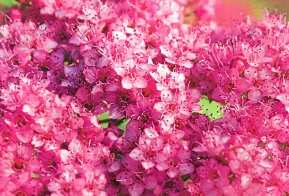 FA301 - Flower Seed   Blood-Flower Milkweed