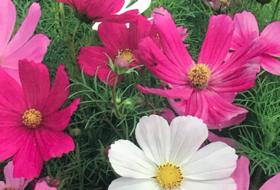FA082 - Flower Seed   Common Cosmos