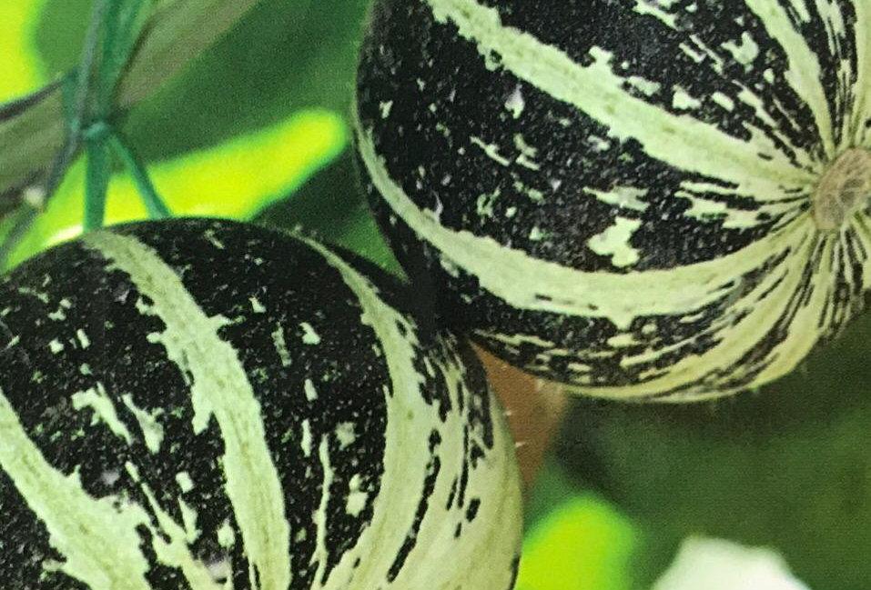 SB095- Vegetable Seed  Pumpkin (not eatable)