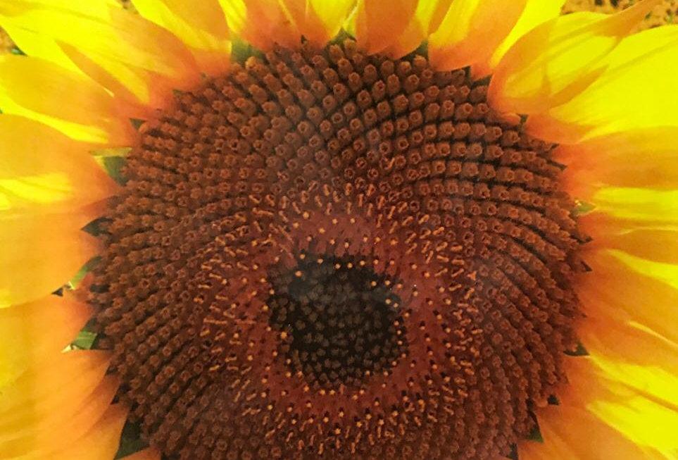FA135 - Flower Seed   Oil Sunflower
