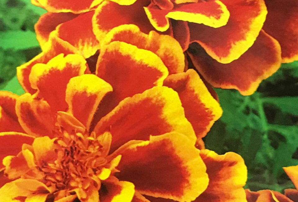 FA257 - Flower Seed   French Marigold