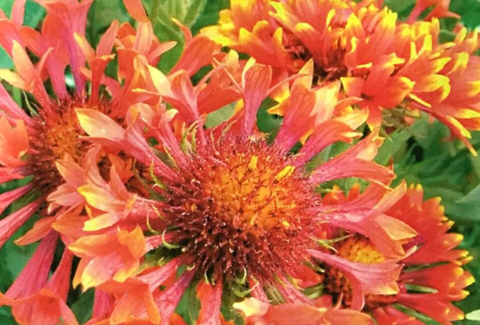 FA054 - Flower Seed   Indian Blanket