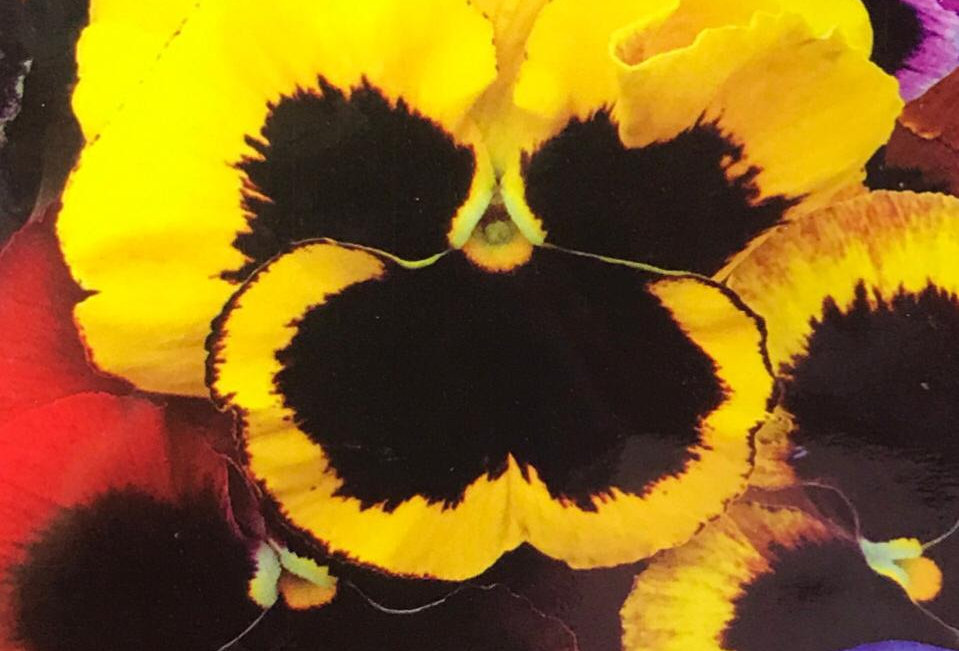 FA070 - Flower Seed   Pansy