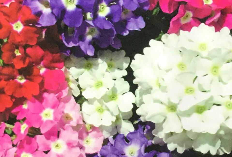 FA066 - Flower Seed   Verbena